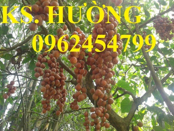 Cung cấp cây giống ăn quả, cây bòn bon, cây dâu da đất, cây lòn bon, giao cây toàn quốc5