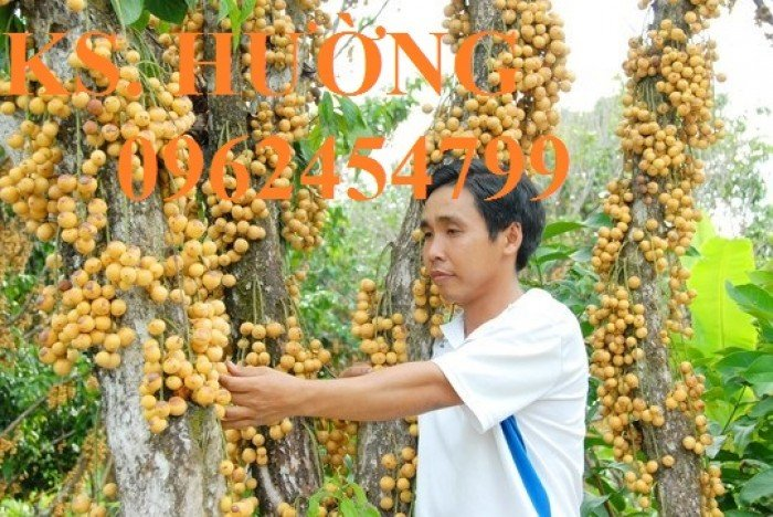 Cung cấp cây giống ăn quả, cây bòn bon, cây dâu da đất, cây lòn bon, giao cây toàn quốc7