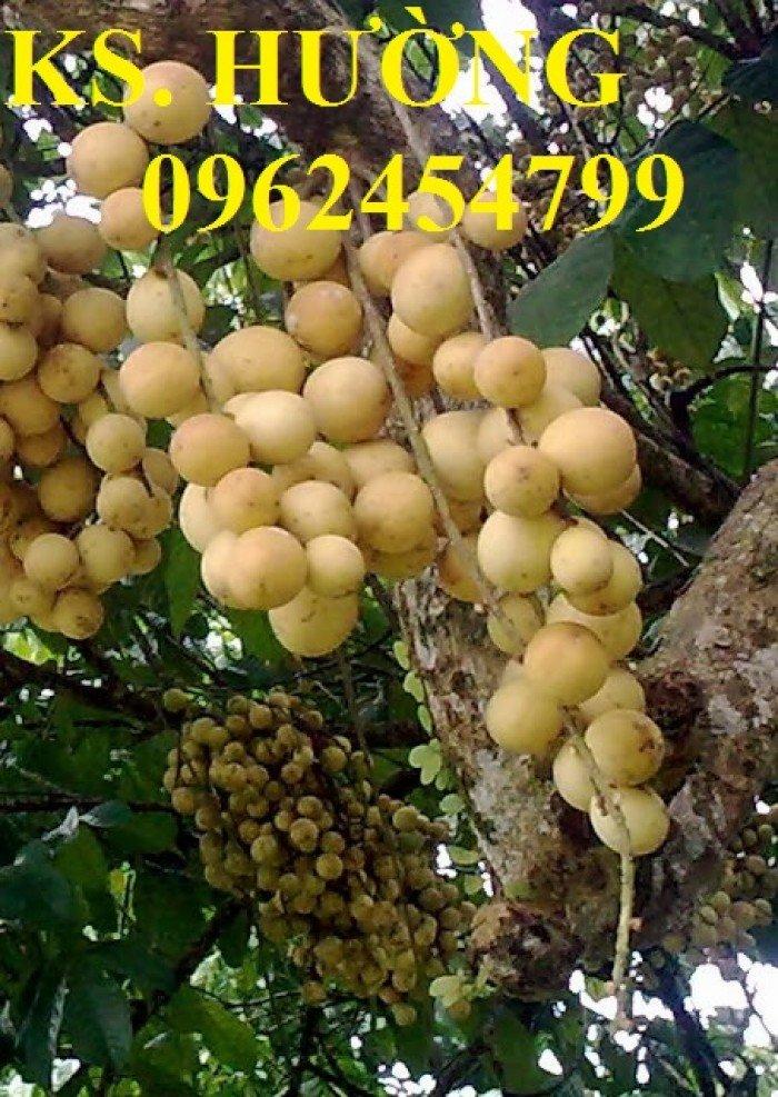 Cung cấp cây giống ăn quả, cây bòn bon, cây dâu da đất, cây lòn bon, giao cây toàn quốc2