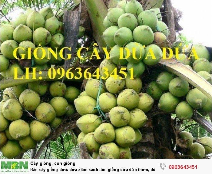 Bán cây giống dừa: dừa xiêm xanh lùn, giống dừa dứa thơm, dừa xiêm dứa Thái Lan, dừa dứa Thái Lan chuẩn, uy tín1