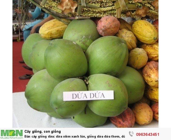 Bán cây giống dừa: dừa xiêm xanh lùn, giống dừa dứa thơm, dừa xiêm dứa Thái Lan, dừa dứa Thái Lan chuẩn, uy tín2