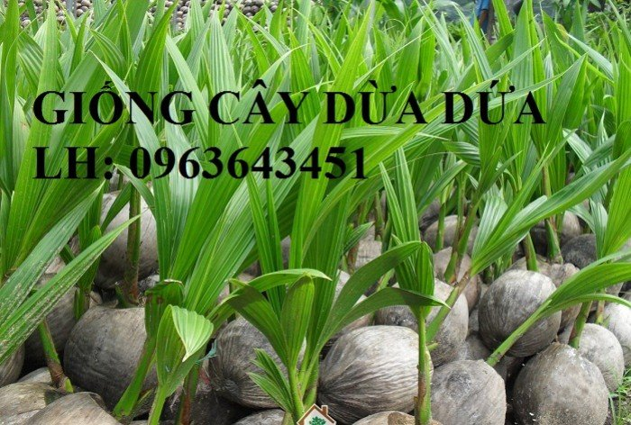 Bán cây giống dừa: dừa xiêm xanh lùn, giống dừa dứa thơm, dừa xiêm dứa Thái Lan, dừa dứa Thái Lan chuẩn, uy tín3
