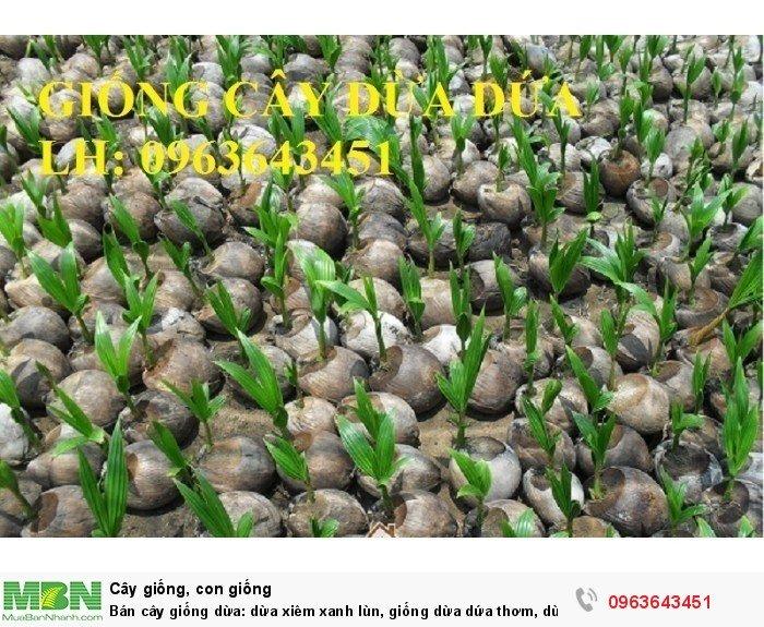 Bán cây giống dừa: dừa xiêm xanh lùn, giống dừa dứa thơm, dừa xiêm dứa Thái Lan, dừa dứa Thái Lan chuẩn, uy tín4