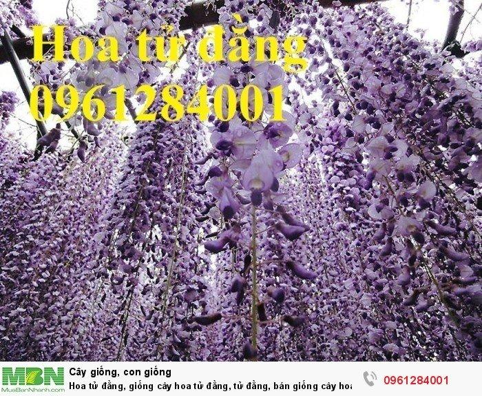Hoa tử đằng, giống cây hoa tử đằng, tử đằng, bán giống cây hoa tử đằng7
