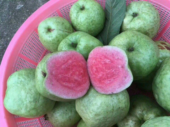 bán giống cây ăn quả, cây ổi ruột đỏ không hạt, ổi ruby, ổi ruột đỏ đài loan1