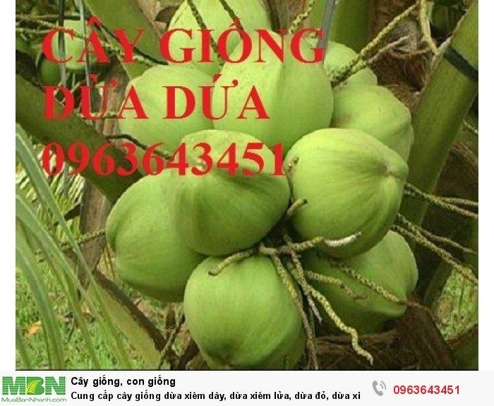 Cung cấp cây giống dừa xiêm dây, dừa xiêm lửa, dừa đỏ, dừa xiêm xanh lùn, dừa chùm chuẩn, uy tín1