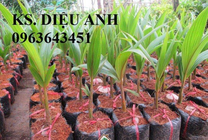 Cung cấp cây giống dừa xiêm dây, dừa xiêm lửa, dừa đỏ, dừa xiêm xanh lùn, dừa chùm chuẩn, uy tín2