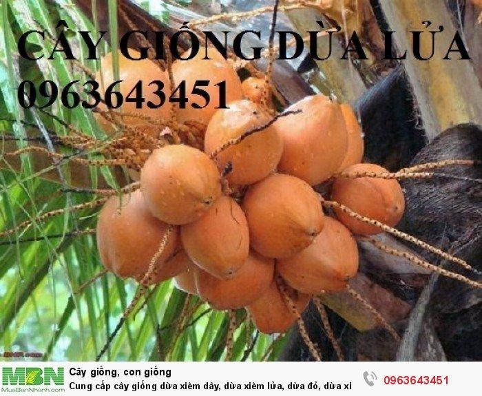 Cung cấp cây giống dừa xiêm dây, dừa xiêm lửa, dừa đỏ, dừa xiêm xanh lùn, dừa chùm chuẩn, uy tín3