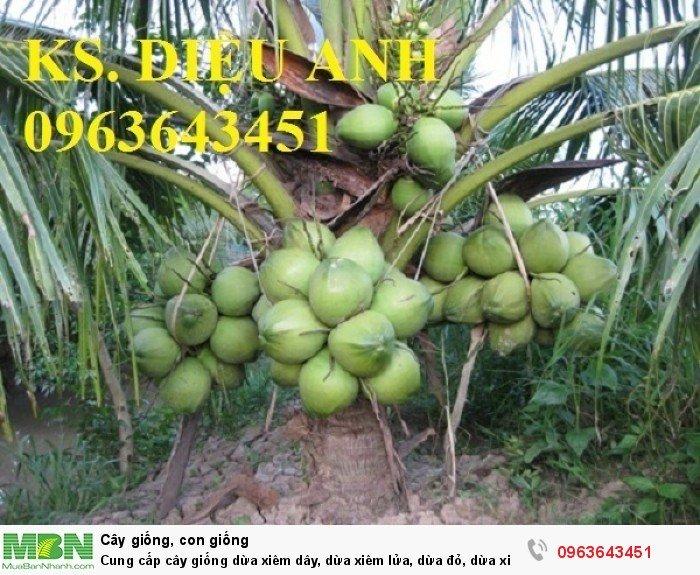 Cung cấp cây giống dừa xiêm dây, dừa xiêm lửa, dừa đỏ, dừa xiêm xanh lùn, dừa chùm chuẩn, uy tín5