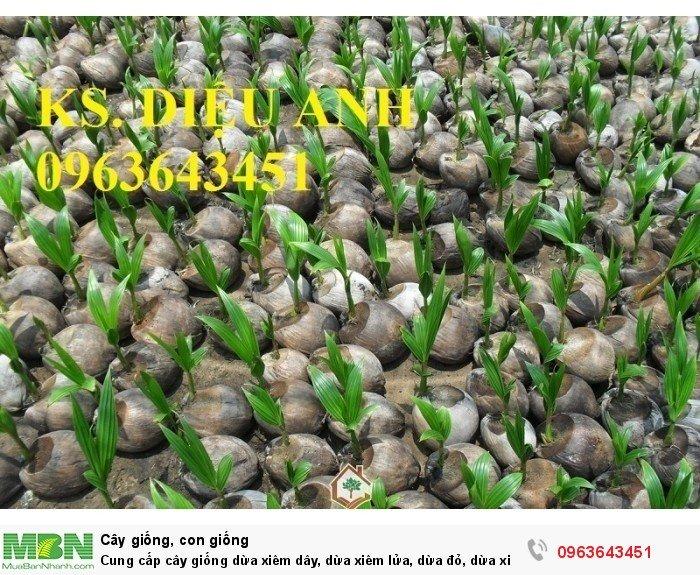 Cung cấp cây giống dừa xiêm dây, dừa xiêm lửa, dừa đỏ, dừa xiêm xanh lùn, dừa chùm chuẩn, uy tín6