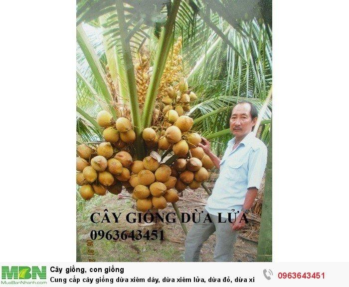 Cung cấp cây giống dừa xiêm dây, dừa xiêm lửa, dừa đỏ, dừa xiêm xanh lùn, dừa chùm chuẩn, uy tín7