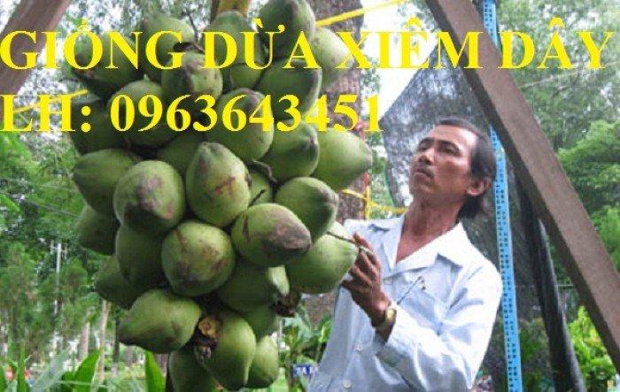 Cung cấp cây giống dừa xiêm dây, dừa xiêm lửa, dừa đỏ, dừa xiêm xanh lùn, dừa chùm chuẩn, uy tín8