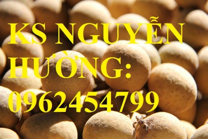 Cung cấp cây giống nhãn hạt lép, nhãn không hạt chất lượng cho năng suất cao, giao cây toàn quốc4