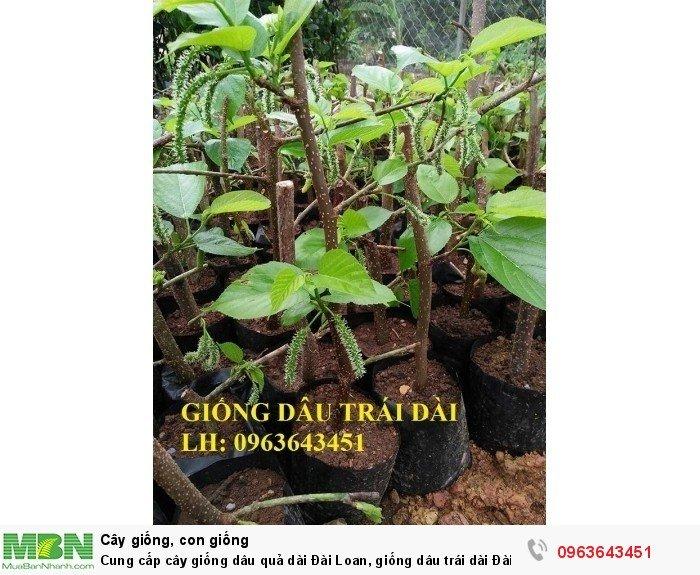 Cung cấp cây giống dâu quả dài Đài Loan, giống dâu trái dài Đài Loan, giống dâu ta chuẩn, uy tín1