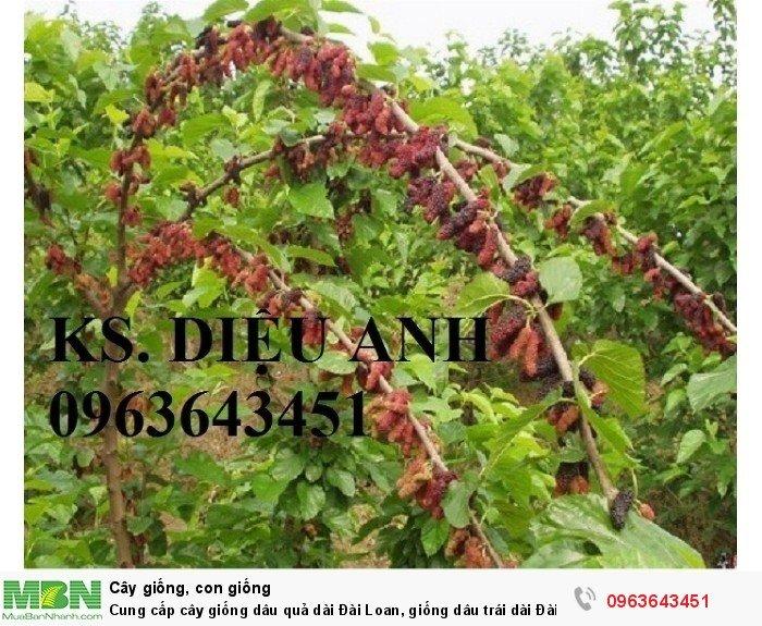 Cung cấp cây giống dâu quả dài Đài Loan, giống dâu trái dài Đài Loan, giống dâu ta chuẩn, uy tín3