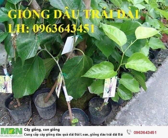 Cung cấp cây giống dâu quả dài Đài Loan, giống dâu trái dài Đài Loan, giống dâu ta chuẩn, uy tín4