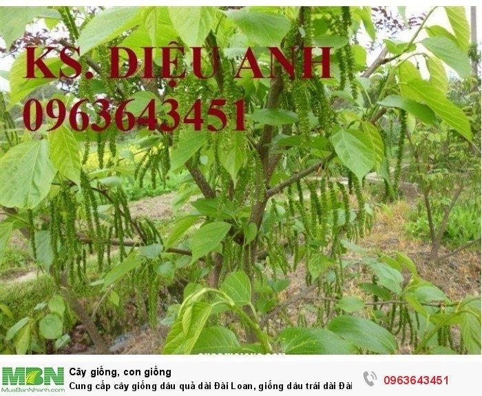 Cung cấp cây giống dâu quả dài Đài Loan, giống dâu trái dài Đài Loan, giống dâu ta chuẩn, uy tín6