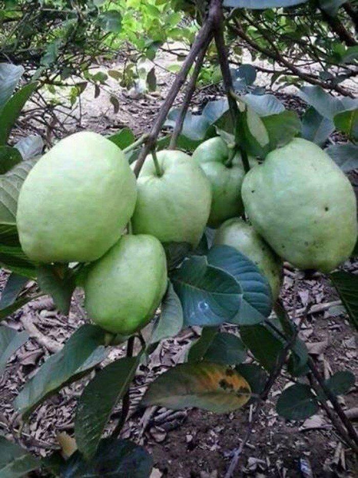 bán giống cây ăn quả cây ổi ruột đỏ không hạt, cung cấp số lượng lớn0