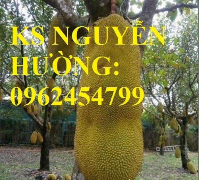 Cung cấp cây giống mít trái dài, quả mít trái dài, cây giống chất lượng cho năng suất cao4