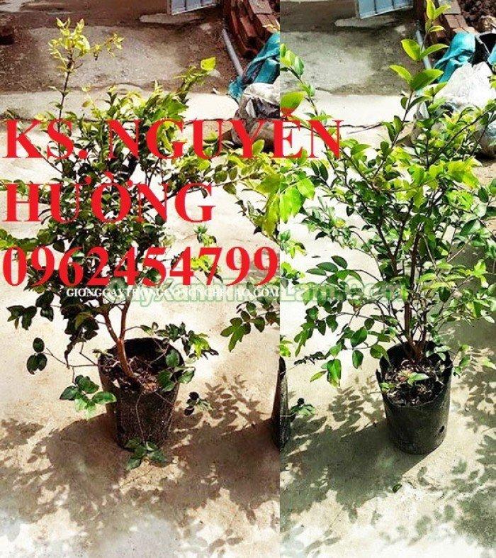 Cung cấp cây giống nho thân gỗ, trung tâm cung cấp cây giống chất lượng cho năng suất cao - giao cây toàn quốc1