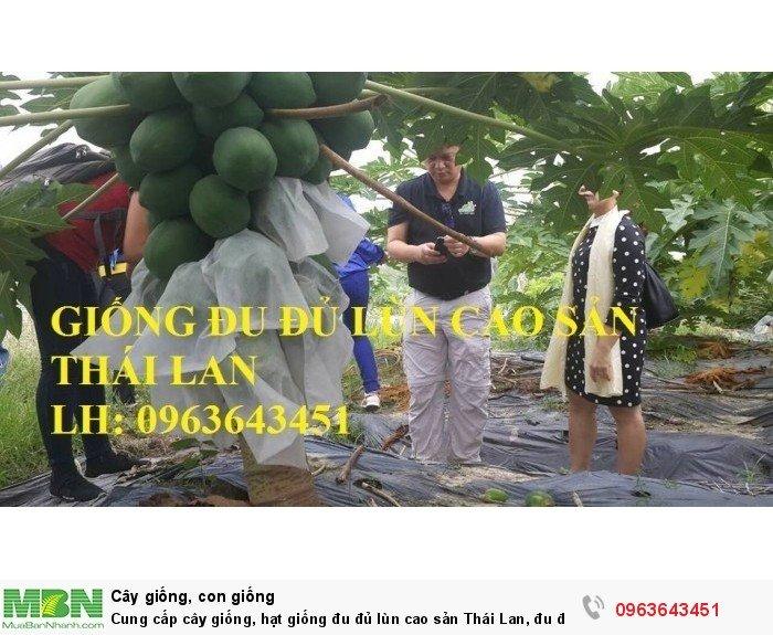Cung cấp cây giống, hạt giống đu đủ lùn cao sản Thái Lan, đu đủ lùn siêu lùn siêu quả, đu đủ lùn Thái ruột vàng3