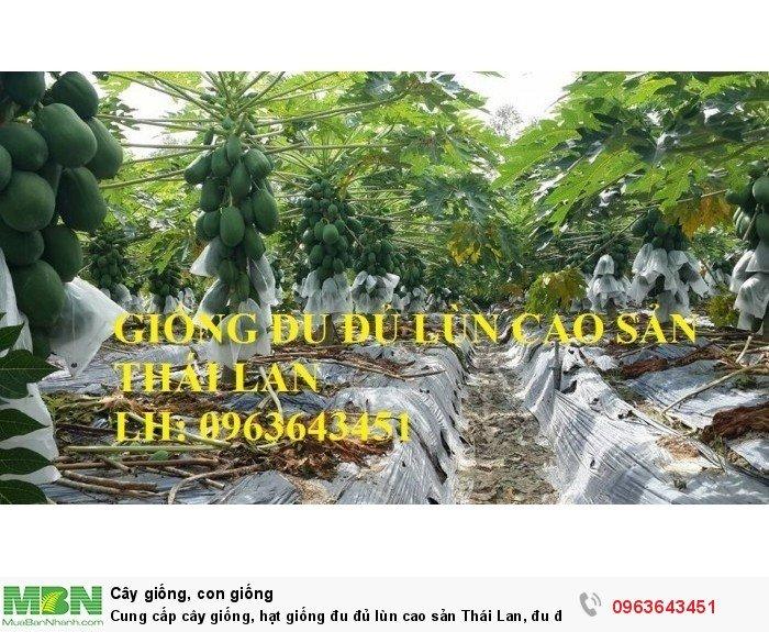 Cung cấp cây giống, hạt giống đu đủ lùn cao sản Thái Lan, đu đủ lùn siêu lùn siêu quả, đu đủ lùn Thái ruột vàng4