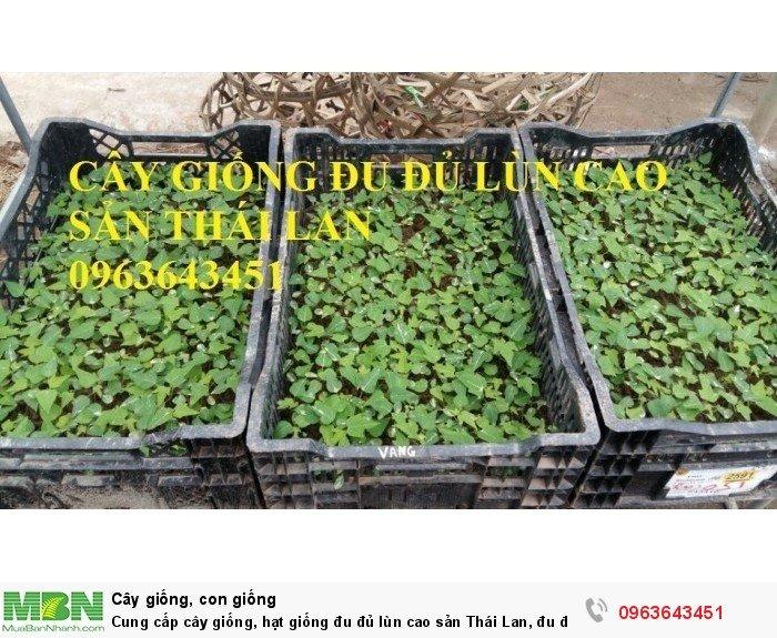 Cung cấp cây giống, hạt giống đu đủ lùn cao sản Thái Lan, đu đủ lùn siêu lùn siêu quả, đu đủ lùn Thái ruột vàng8