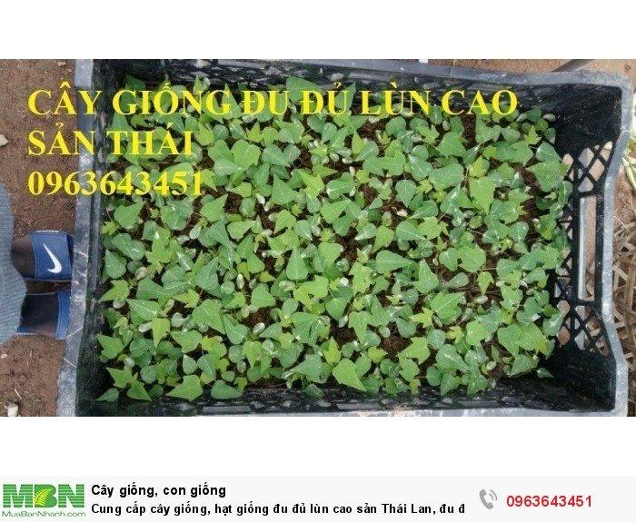 Cung cấp cây giống, hạt giống đu đủ lùn cao sản Thái Lan, đu đủ lùn siêu lùn siêu quả, đu đủ lùn Thái ruột vàng10