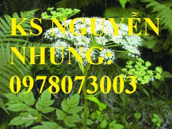 Cung cấp giống cây dược liệu, cây khôi nhung, cây đẳng sâm, cây đương quy, giao cây toàn quốc7