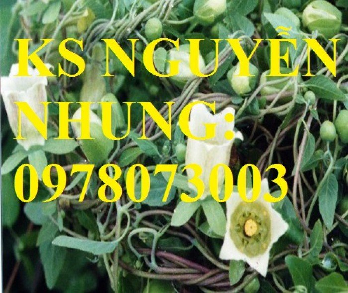 Cung cấp giống cây dược liệu, cây khôi nhung, cây đẳng sâm, cây đương quy, giao cây toàn quốc5