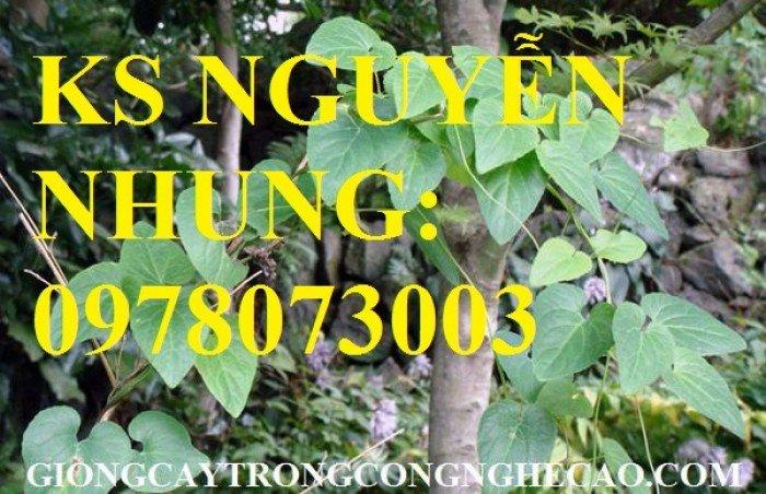 Cung cấp giống cây dược liệu, cây khôi nhung, cây đẳng sâm, cây đương quy, giao cây toàn quốc6
