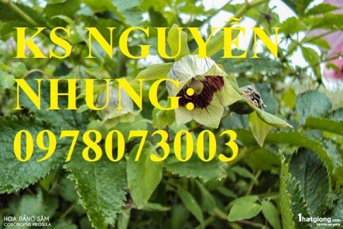 Cung cấp giống cây dược liệu, cây khôi nhung, cây đẳng sâm, cây đương quy, giao cây toàn quốc4