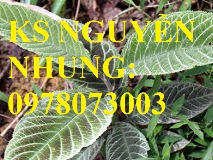 Cung cấp giống cây dược liệu, cây khôi nhung, cây đẳng sâm, cây đương quy, giao cây toàn quốc1