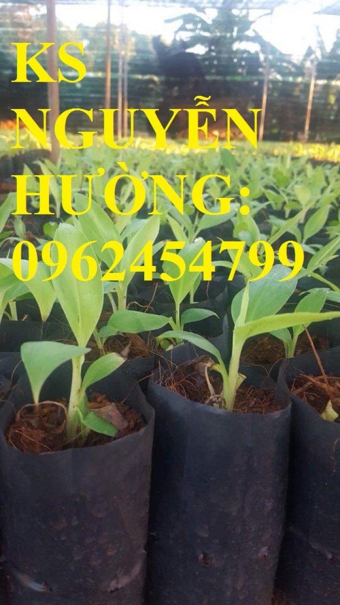 Cung cấp cây giống chuối nuôi cấy mô các loại, cây sạch bệnh cho năng suất cao, giao cây toàn quốc1