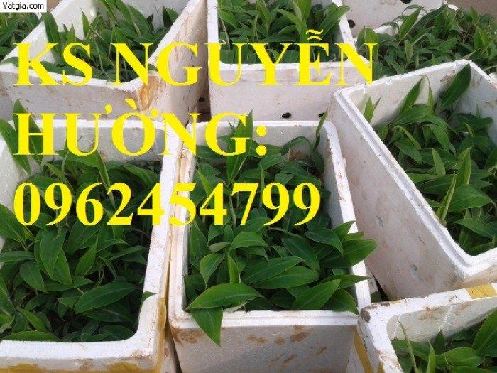 Cung cấp cây giống chuối nuôi cấy mô các loại, cây sạch bệnh cho năng suất cao, giao cây toàn quốc3