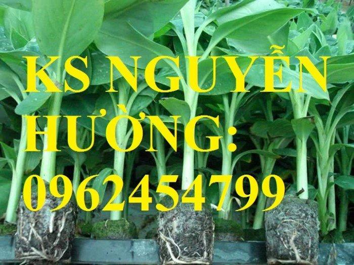 Cung cấp cây giống chuối nuôi cấy mô các loại, cây sạch bệnh cho năng suất cao, giao cây toàn quốc4
