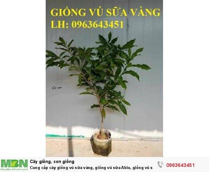 Cung cấp cây giống vú sữa vàng, giống vú sữa Abiu, giống vú sữa vỏ vàng Đài Loan nhập khẩu chuẩn, uy tín, chất lượng