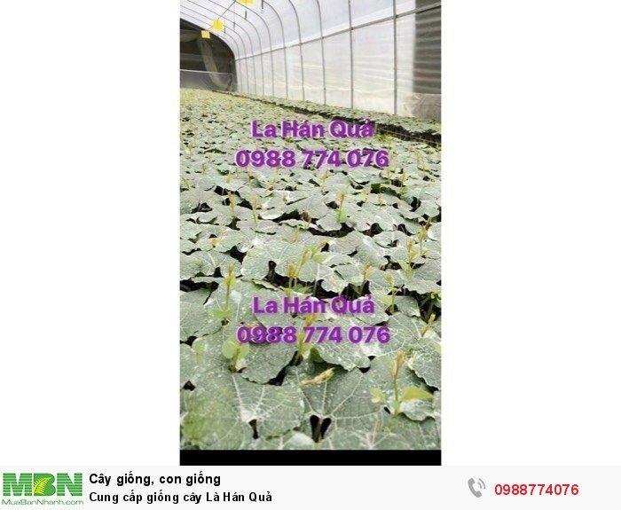 Cung cấp giống cây La Hán Quả2