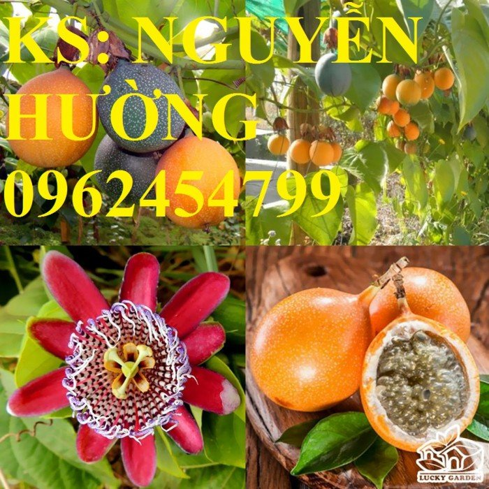 Cung cấp chanh leo vàng ngọt colombia, chanh dây ngọt colombia, kỹ thuật trồng chanh leo colombia3