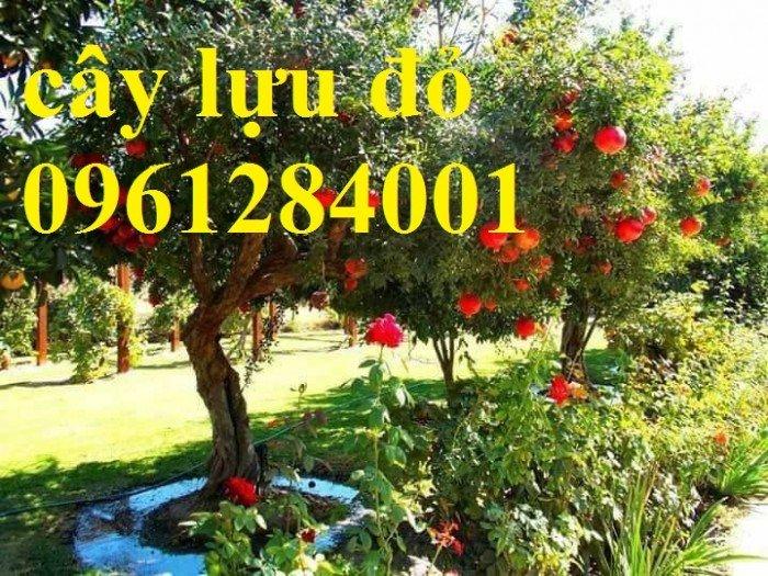Địa điểm cung cấp giống cây lựu lùn đỏ cao sản F1, lựu đỏ ấn độ, lựu đỏ thái lan, lựu trung quốc, cây giống lựu lùn đỏ nhập khẩu10