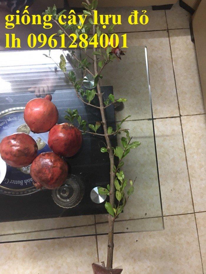 Địa điểm cung cấp giống cây lựu lùn đỏ cao sản F1, lựu đỏ ấn độ, lựu đỏ thái lan, lựu trung quốc, cây giống lựu lùn đỏ nhập khẩu5