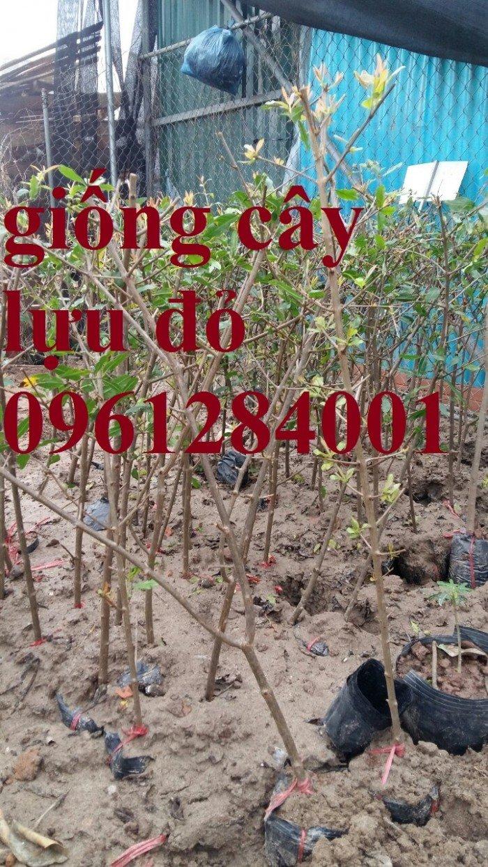 Địa điểm cung cấp giống cây lựu lùn đỏ cao sản F1, lựu đỏ ấn độ, lựu đỏ thái lan, lựu trung quốc, cây giống lựu lùn đỏ nhập khẩu1