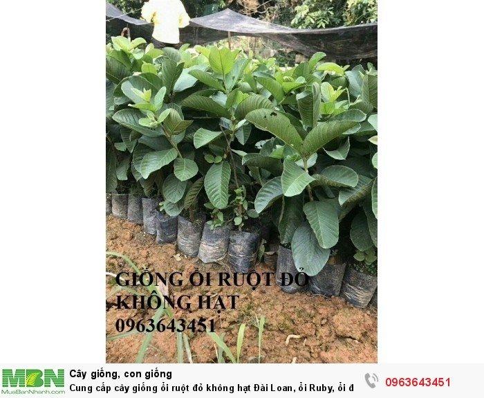 Cung cấp cây giống ổi ruột đỏ không hạt Đài Loan, ổi Ruby, ổi đỏ Đài Loan chân trâu năng suất cao1