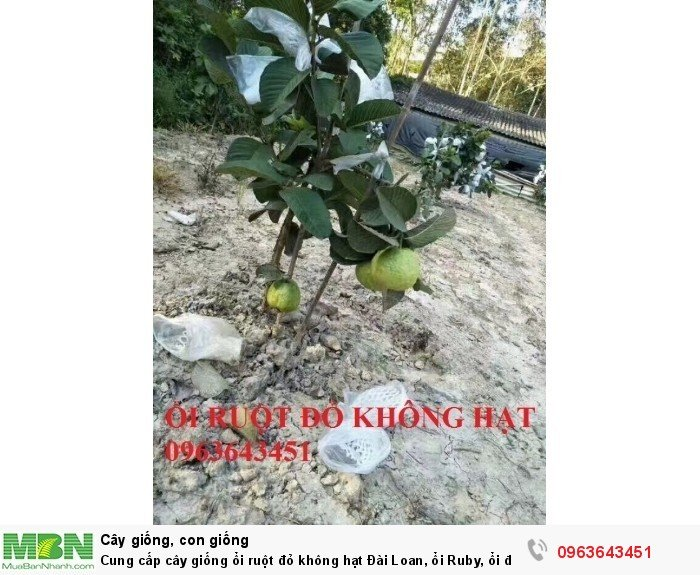 Cung cấp cây giống ổi ruột đỏ không hạt Đài Loan, ổi Ruby, ổi đỏ Đài Loan chân trâu năng suất cao0