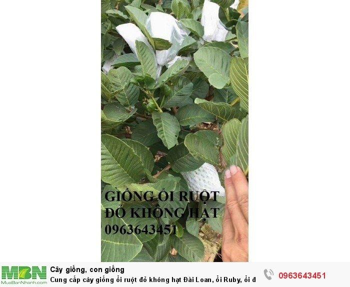 Cung cấp cây giống ổi ruột đỏ không hạt Đài Loan, ổi Ruby, ổi đỏ Đài Loan chân trâu năng suất cao3