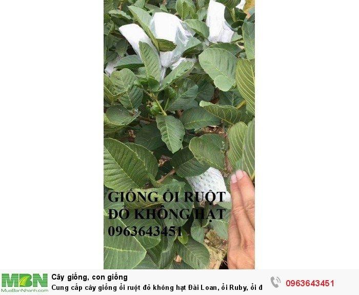 Cung cấp cây giống ổi ruột đỏ không hạt Đài Loan, ổi Ruby, ổi đỏ Đài Loan chân trâu năng suất cao4