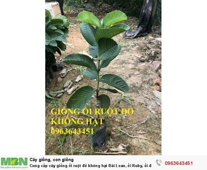 Cung cấp cây giống ổi ruột đỏ không hạt Đài Loan, ổi Ruby, ổi đỏ Đài Loan chân trâu năng suất cao7