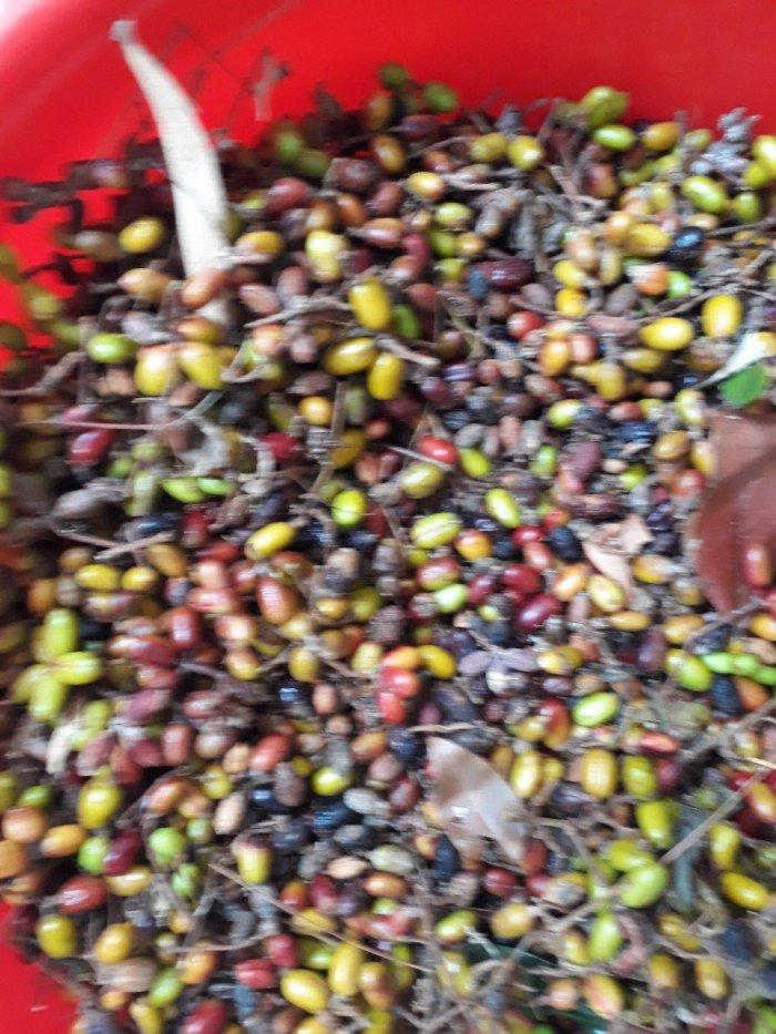 Hạt giống cây mật nhân4