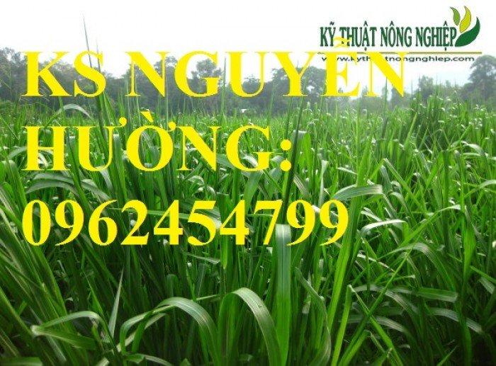 Cung cấp giống cỏ Ubon Paspalum, cỏ chịu ngập, cỏ chịu nước, hạt giống cỏ chịu ngập, giao cây toàn5