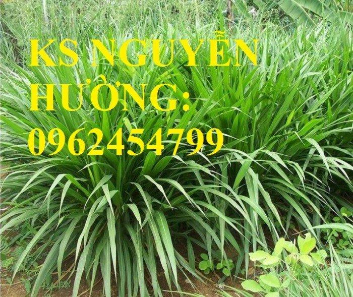 Cung cấp giống cỏ Ubon Paspalum, cỏ chịu ngập, cỏ chịu nước, hạt giống cỏ chịu ngập, giao cây toàn1